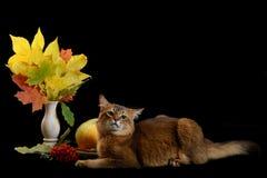 Somali cat on black background Royalty Free Stock Image
