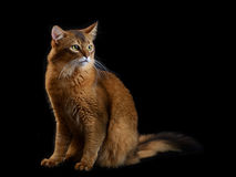 Somali cat on black background Stock Photo