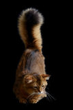 Somali cat on black background. Somali cat  ruddy color on black background Royalty Free Stock Photo