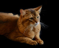 Somali cat on black background Stock Photography