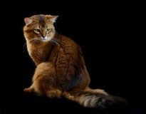 Somali cat on black background. Somali cat  ruddy color on black background Stock Photos