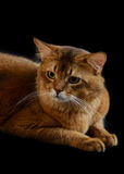 Somali cat on black background. Somali cat  ruddy color on black background Royalty Free Stock Image