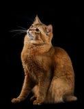 Somali cat on black background Stock Photos