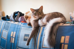 Somali cat blue color lying on sofa. With plush toys at home Royalty Free Stock Photo