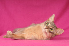 Somali cat blue color. Blue somali cat portrait on pink background looking at camera Royalty Free Stock Images