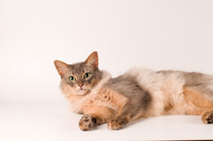 Somali cat blue color. On white background lying portrait Royalty Free Stock Images