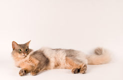 Somali cat blue color. On white background lying portrait Royalty Free Stock Photos