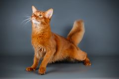 Somali cat on colored backgrounds. Studio photography of a Somali cat on colored backgrounds royalty free stock images