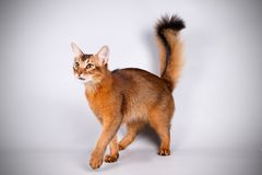 Somali cat on colored backgrounds. Studio photography of a Somali cat on colored backgrounds stock photos