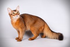 Somali cat on colored backgrounds. Studio photography of a Somali cat on colored backgrounds stock images