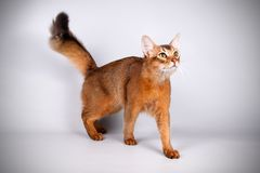 Somali cat on colored backgrounds. Studio photography of a Somali cat on colored backgrounds royalty free stock photos