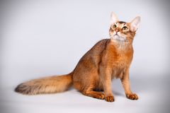Somali cat on colored backgrounds. Studio photography of a Somali cat on colored backgrounds stock photography