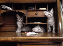 Egyptian mau kittens Stock Images