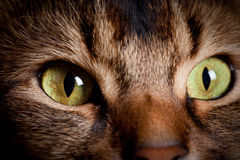 Somali cat eyes Royalty Free Stock Photos
