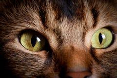 Somali cat eyes. Somali cat close up in a shadow royalty free stock photos