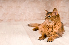 Somali cat on the floor with. Purebre Somali cat on the floor with royalty free stock photos