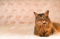 Somali cat on the floor with. Purebre Somali cat on the floor with stock photos