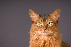 Somali cat on the floor with. Purebre Somali cat on the floor with royalty free stock photo
