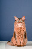 Somali cat on the floor with. Purebre Somali cat on the floor with stock image