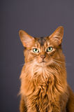 Somali cat on the floor with. Purebre Somali cat on the floor with royalty free stock photography