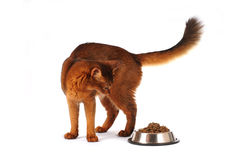 Somali cat with full bowl isolated on white. Somali cat ruddy color with full bowl isolated on white looking on dry food stock photo
