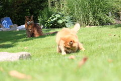 Somali cat. On the green meadow Royalty Free Stock Photo