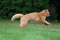 Somali cat. On the green meadow Royalty Free Stock Images