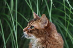 Somali cat. On the green meadow Stock Photos