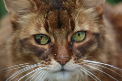 Somali cat. On the green meadow Royalty Free Stock Image