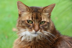 Somali cat. On the green meadow Stock Images