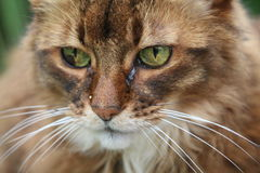 Somali cat. On the green meadow Royalty Free Stock Photos