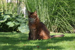 Somali cat. On the green meadow Stock Image