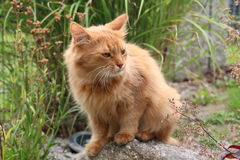 Somali cat. On the green meadow Stock Photography