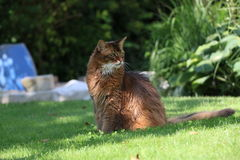 Somali cat. On the green meadow Stock Photo