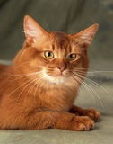 Somali cat. Headshot of a somali cat lying on a green backgound Royalty Free Stock Photography