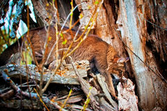 Somali cat hunting. In an old willow Stock Photo