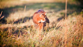 Somali cat hunting. In a grass Stock Photos