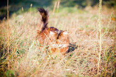 Somali cat hunting Royalty Free Stock Images