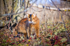 Somali cat hunting Stock Photo