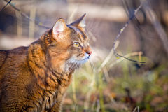 Somali cat hunting. In a grass Royalty Free Stock Photo