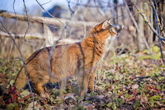 Somali cat hunting. In a grass Royalty Free Stock Photos