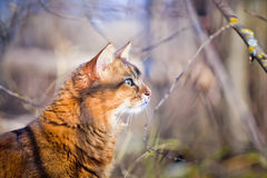 Somali cat hunting. In a grass Royalty Free Stock Photography