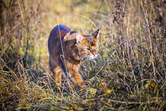 Somali cat hunting. In a grass Stock Photo
