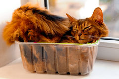 Somali cat inside box. Somali cat lie inside transperent plastic box Royalty Free Stock Photography