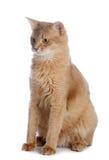 Somali cat isolated on white background Royalty Free Stock Images