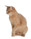 Somali cat isolated on white background Stock Photo