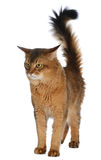 Somali cat isolated on white background Stock Images