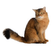 Somali cat isolated on white background Royalty Free Stock Image
