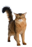 Somali cat isolated on white background Royalty Free Stock Photography