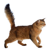 Somali cat isolated on white background Stock Photos